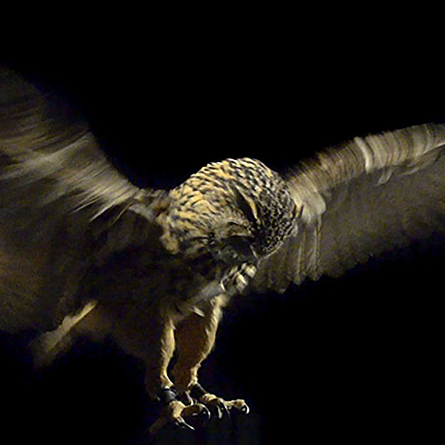 Pride And Glory, Eagle Owl