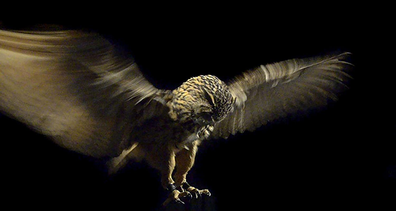 Pride And Glory, Eagle Owl